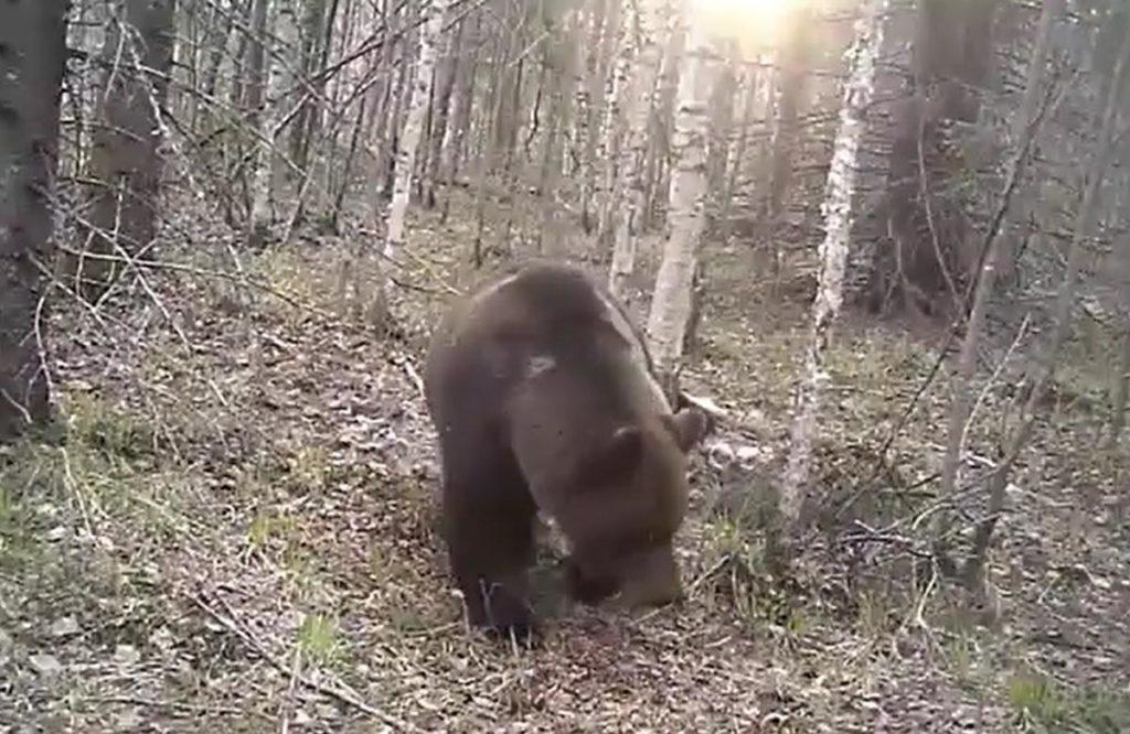 В Тверской области ведут видеонаблюдение за дикими животными