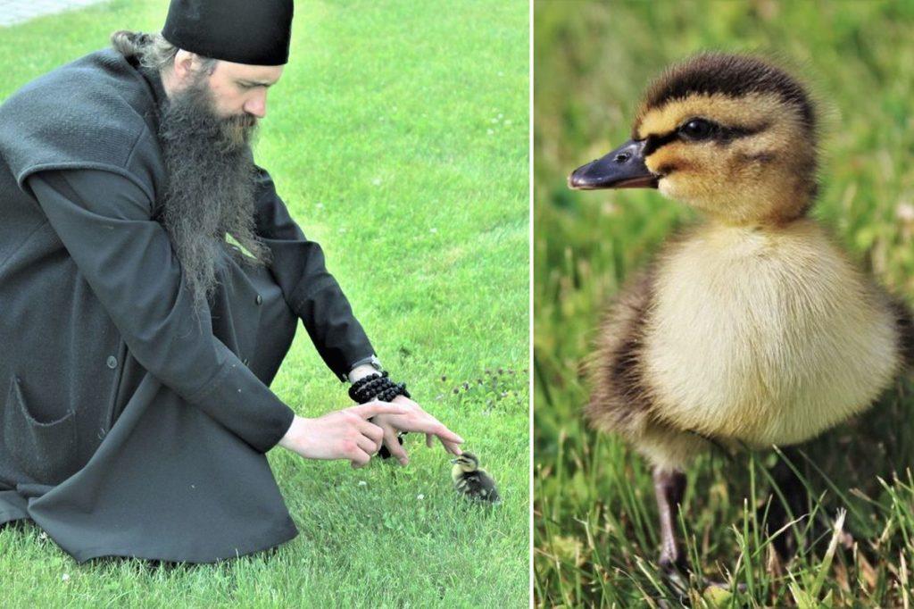 Настоятель монастыря в Тверской области взял на воспитание диких утят